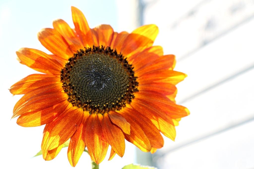 backlitsunflowerblog